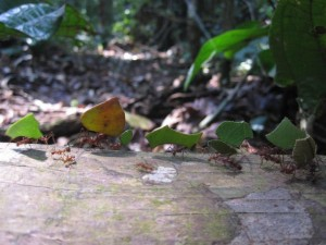 The rainforest is home to millions of species of plants and animals, including these leaf cutter ants (Photo Credit: Ioulia Fenton)